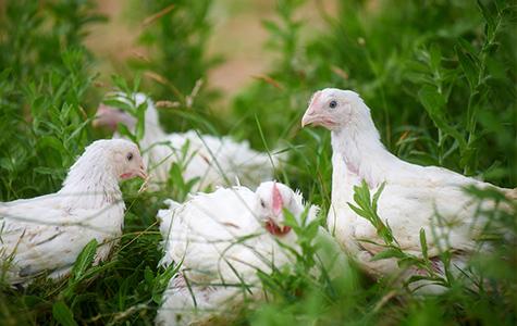 chicken-main-left.jpg